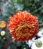 Dahlia royalty free stock photography