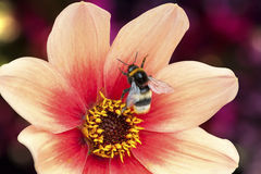 Dahlia, bee Royalty Free Stock Images