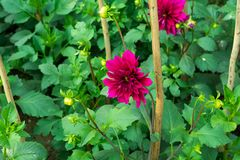 Dahlia `Bishop of Llandaff` is a tuberous tender perennial cultivar with dark colored foliage produces a stunning contrast with. Its scarlet. Its sun loving stock photo