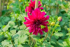 Dahlia `Bishop of Llandaff` is a tuberous tender perennial cultivar with dark colored foliage produces a stunning contrast with. Its scarlet. Its sun loving stock photography