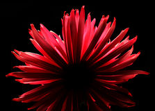 Dahlia on black background Stock Photography