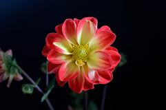 Dahlia black background red tipped yellow petals with yellow eye closeup. Dahlia is a genus of bushy, tuberous, herbaceous perennial plants native to Mexico stock image
