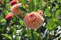Dahlia Blah Blah Blah en la floración foto de archivo