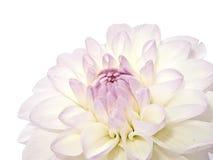 Dahlia blanc Photo stock