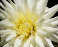 Dahlia blanc Photographie stock libre de droits