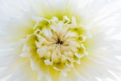 Dahlia blanc Image stock