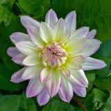 Dahlia blanc bordé par pourpre Image stock