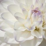 Dahlia blanc d'ampoule de scintillement en plan rapproché extrême Photographie stock libre de droits