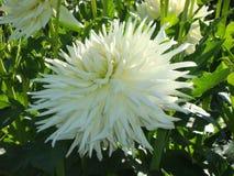 Dahlia blanc dans le jardin Photographie stock libre de droits