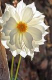 Dahlia blanc de jardin Images libres de droits