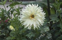 Dahlia blanc en fleur avec une abeille Photographie stock libre de droits