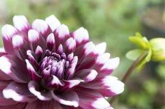 Dahlia blanc et pourpre dans le tir de macro de fleur Photos stock
