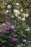 Dahlia blanc et rose estival images libres de droits