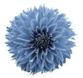 Dahlia bleu-clair de fleur Fond d'isolement par blanc avec le chemin de coupure closeup Aucune ombres Pour la conception Photographie stock libre de droits