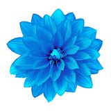 Dahlia bleu de fleur d'isolement sur le fond blanc Plan rapproché Image libre de droits
