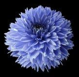 Dahlia bleu Fleurissez sur le fond d'isolement par noir avec le chemin de coupure Pour la conception closeup Photos stock