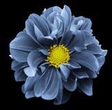 Dahlia bleu Fleurissez sur le fond d'isolement par noir avec le chemin de coupure Pour la conception closeup Photos libres de droits