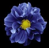 Dahlia bleu Fleurissez sur le fond d'isolement par noir avec le chemin de coupure Pour la conception closeup Photo stock