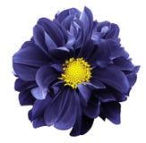 Dahlia bleu Fleurissez sur un fond d'isolement par blanc avec le chemin de coupure Pour la conception closeup Images stock