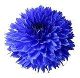 Dahlia bleu Fleurissez sur un fond d'isolement par blanc avec le chemin de coupure Pour la conception closeup Photo stock