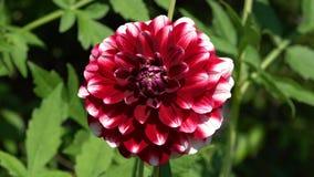 Dahlia blommor av sommar lager videofilmer