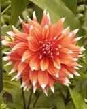 Dahlia bloom flower. Bloom and flower detail of a dahlia reddish orange Stock Photography