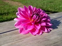 Dahlia bloom on a Picnic Table. Pink Dahlia Bloom on a picnic table with grass in the background royalty free stock photo