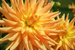 Dahlia blooms Indian Summer Stock Image