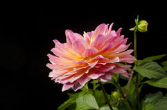 Dahlia Blossom Royalty Free Stock Images