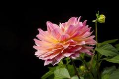 Dahlia Blossom. Closeup of a Dahlia blossom isolated on black background Royalty Free Stock Images