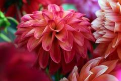 Dahlia Blossom Imagens de Stock