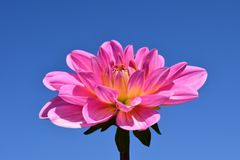 Dahlia, Blossom, Bloom, Flower Royalty Free Stock Photo