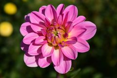 Dahlia, Blossom, Bloom, Flower Royalty Free Stock Photos