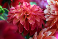Dahlia Blossom. S for sale in grower's market Stock Images