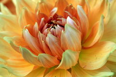 Dahlia Blossom. Delicate dahlia blossom in bloom Royalty Free Stock Image