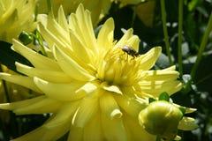 Dahlia blossom with a fly visiting  Stock Photos