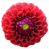 Dahlia blossom with raindrops Royalty Free Stock Images