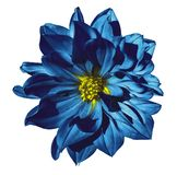 Dahlia blue flower  on an isolated white background with clipping path. Closeup. No shadows. Nature Royalty Free Stock Images
