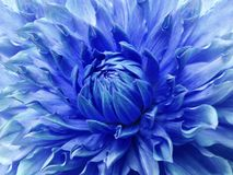 Dahlia blue  flower.  Macro. Motley big flower. Background from a flower. Nature Stock Photos