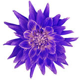 Dahlia blue-pink-violet  flower, white  background isolated  with clipping path. Closeup. with no shadows. Great, Spotted, spiky f Stock Image