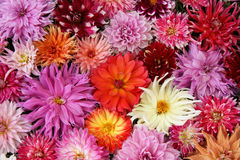 Dahlia  bouquet autumn. Royalty Free Stock Photo