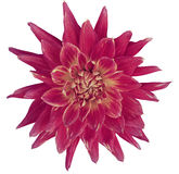 Dahlia brightly pink  flower, white  background isolated  with clipping path. Closeup. with no shadows. Great, Spotted, spiky flow Royalty Free Stock Image