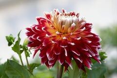 Dahlia bud Stock Image