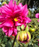 Dahlia with buds Stock Photo