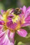 Dahlia - Bumblebee Royalty Free Stock Image
