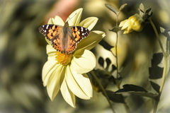 Dahlia. A butterfly on a Dahlia in daylight royalty free stock photo