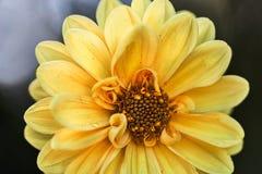 Dahlia Chic oavkortad blom Royaltyfri Foto