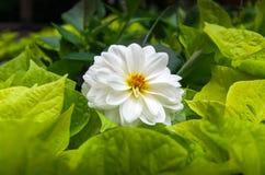 Dahlia Chic White Royaltyfria Bilder