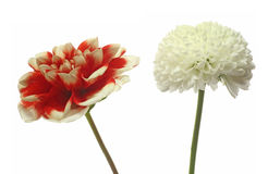 Dahlia and Chrysanthemum in a white background Royalty Free Stock Images