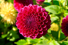 Dahlia. Close up of dahlia against flowers background Royalty Free Stock Image